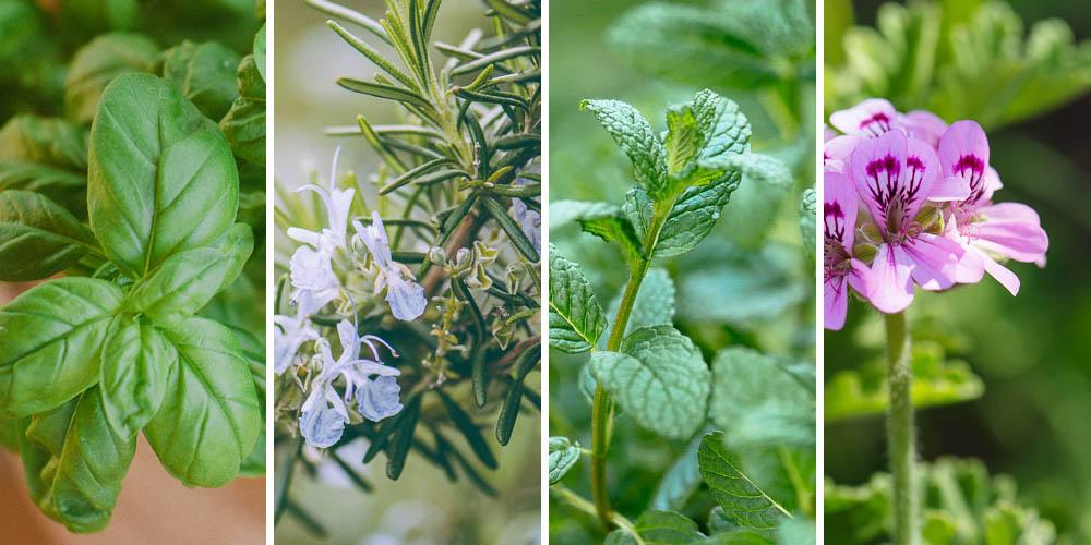 10 φυτά που διώχνουν τα κουνούπια