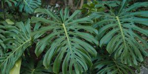 Μονστέρα, εξωτικό φυτό εσωτερικού χώρου