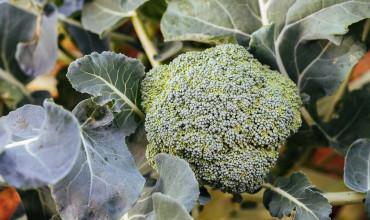 8 μυστικά για φύτευση και καλλιέργεια μπρόκολου