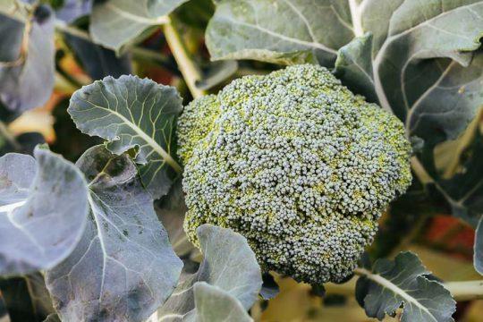 10 μυστικά για φύτευση και καλλιέργεια μπρόκολου