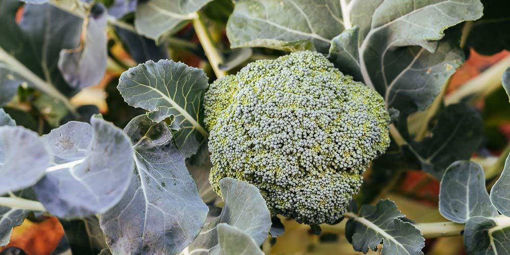 5 μυστικά για καλλιέργεια μπρόκολου