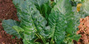 4 μυστικά για καλλιέργεια σέσκουλου