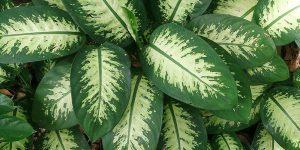 Ντιφενμπάχια, ανθεκτικό φυτό εσωτερικού χώρου