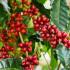Καλλιέργεια καφεόδεντρου, το δέντρο του καφέ