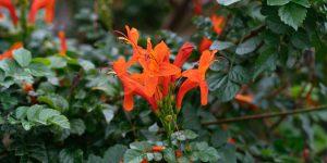 Καπένσια, αναρριχώμενο φυτό με γρήγορη ανάπτυξη