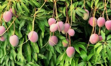 Συμβουλές για καλλιέργεια μάνγκο