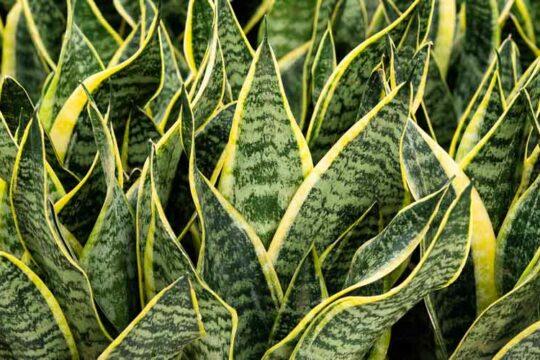 Φυτά σανσιβέριας
