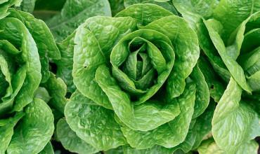 7 μυστικά για φύτευση και καλλιέργεια μαρουλιού