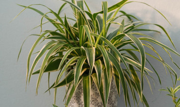 Χλωρόφυτο, φυτό εσωτερικού χώρου που καθαρίζει τον αέρα