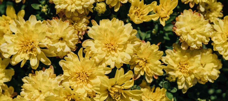 7 μυστικά για τη φροντίδα του χρυσάνθεμου