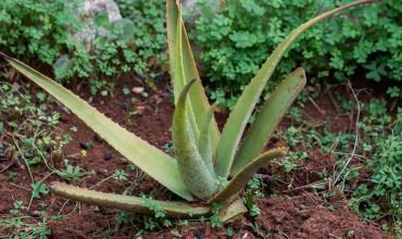 9 μυστικά για καλλιέργεια αλόης