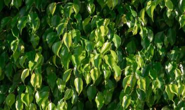 5 μυστικά για φροντίδα φίκου μπέντζαμιν σε γλάστρα και στον κήπο