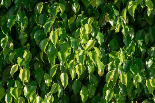 7 μυστικά για φροντίδα φίκου μπέντζαμιν σε γλάστρα και στον κήπο