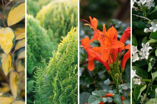 10 φυτά κατάλληλα για φράχτη