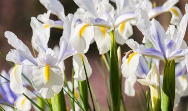 Ίριδα, ένα λουλούδι από τον ουρανό