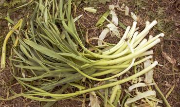 Συμβουλές για καλλιέργεια πράσου σε γλαστρα και σε κήπο