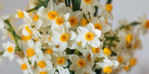 Νάρκισσος, ένα πανέμορφο λουλούδι για κήπο και γλάστρα