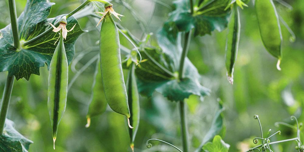 Συμβουλές για καλλιέργεια αρακά