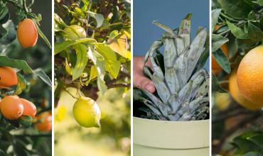 6 δέντρα με φρούτα κατάλληλα για γλάστρα σε μπαλκόνι