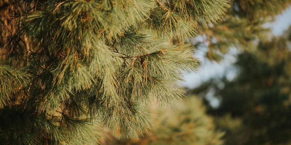 Τι φυτεύουμε κάτω από τα πεύκα;