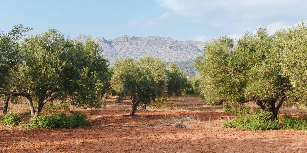 10 μυστικά για καλλιέργεια ελιάς