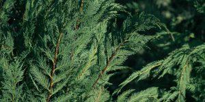 Κυπαρίσσι λέιλαντ, ένα όμορφο δέντρο για φράχτη