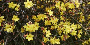Συμβουλές φροντίδας για το κίτρινο γιασεμί του χειμώνα