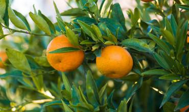 7 μυστικά για καλλιέργεια μανταρινιάς σε γλάστρα