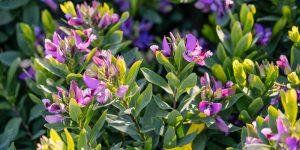 Πολυγάλα, καλλωπιστικός θάμνος με μωβ λουλούδια