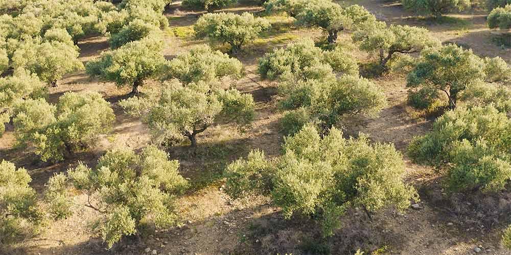 10 μυστικά για την καλλιέργεια της ελιάς
