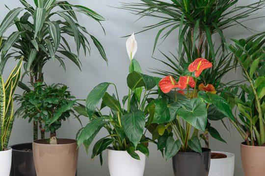 Τι φροντίδα χρειάζονται τα φυτά εσωτερικού χώρου (+video)