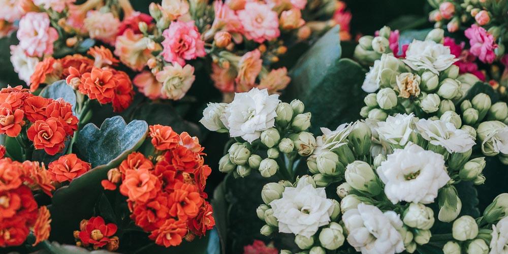 Καλαγχόη, φυτό εσωτερικού και εξωτερικού χώρου
