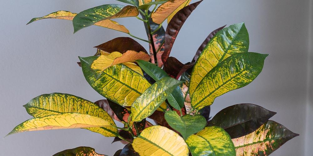 Κρότωνας, φυτό εσωτερικού χώρου με εντυπωσιακά χρώματα