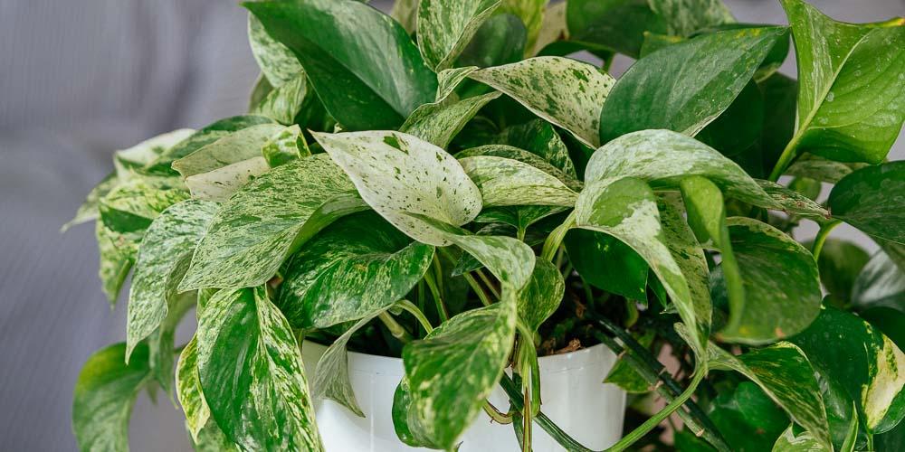 Πόθος, κρεμαστό φυτό εσωτερικού χώρου