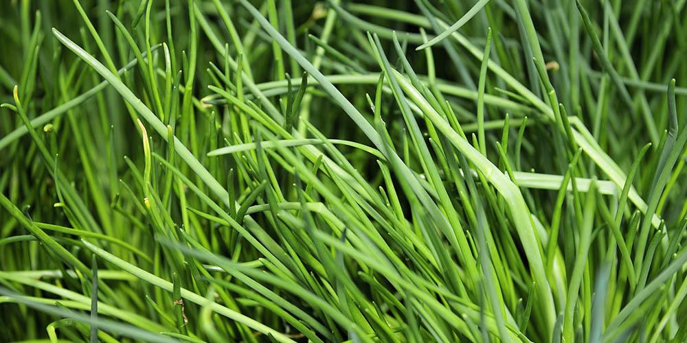 Καλλιέργεια σχοινόπρασου σε κήπο και σε γλάστρα
