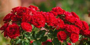 10 μυστικά για φροντίδα τριανταφυλλιάς