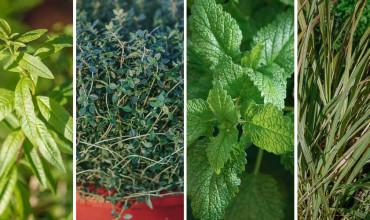4 αρωματικά φυτά που μυρίζουν λεμόνι