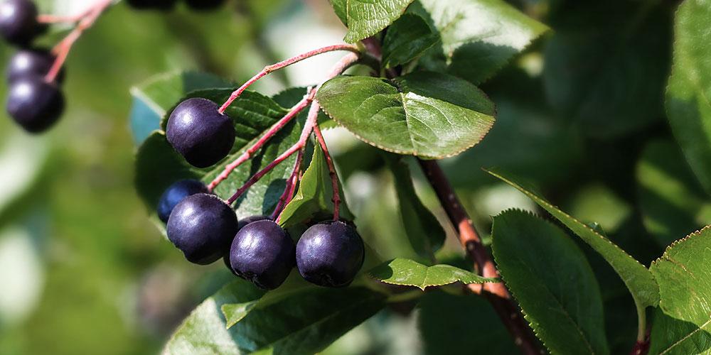 Καλλιέργεια αρώνιας σε κήπο και σε γλάστρα
