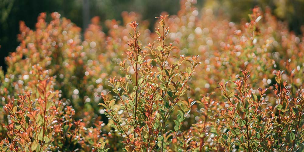 Ευγενία, ένα υπέροχο φυτό για φράχτη