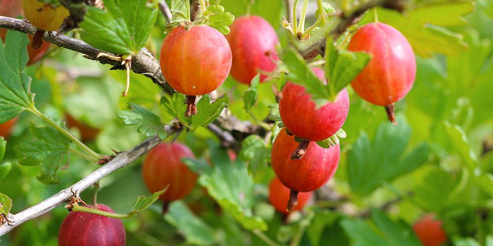 Λαγοκέρασο, καλλιέργεια σε κήπο και σε γλάστρα