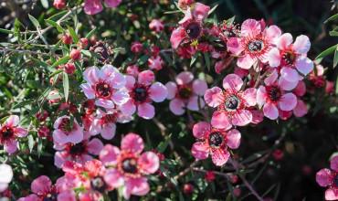 Λεπτόσπερμο, ένα φυτό με άφθονα λουλούδια