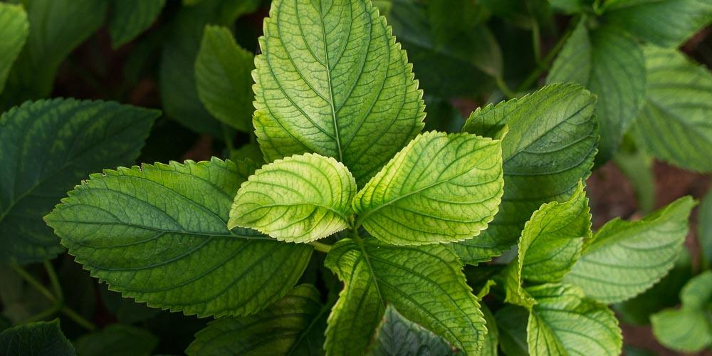Φυτά που χρειάζονται σίδηρο και σε τι ποσότητα