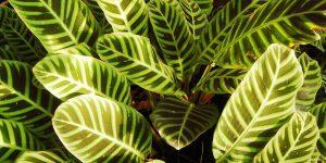 Καλαθέα, φυτό εσωτερικού χώρου με εντυπωσιακά φύλλα