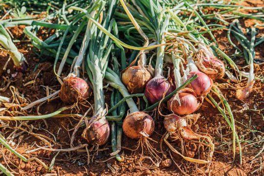 7 μυστικά για φύτευση και καλλιέργεια κρεμμυδιού