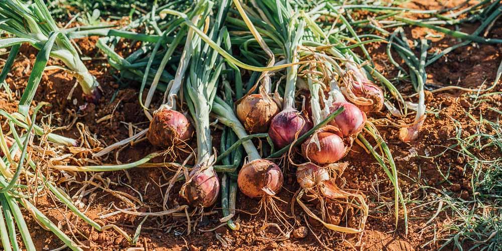 6 μυστικά για φύτευση και καλλιέργεια κρεμμυδιού