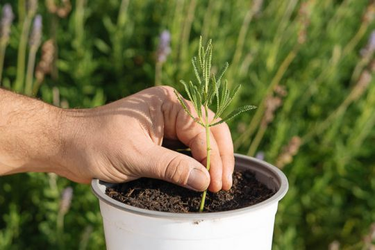 Πολλαπλασιασμός λεβάντας: δημιουργούμε νέα φυτά με μοσχεύματα
