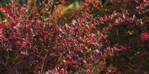 Βερβερίδα, ένας ανθεκτικός θάμνος με κόκκινα φύλλα