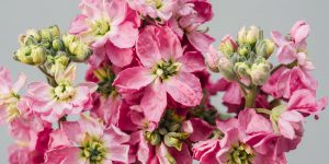 Βιολέτα, ανοιξιάτικο αρωματικό λουλούδι