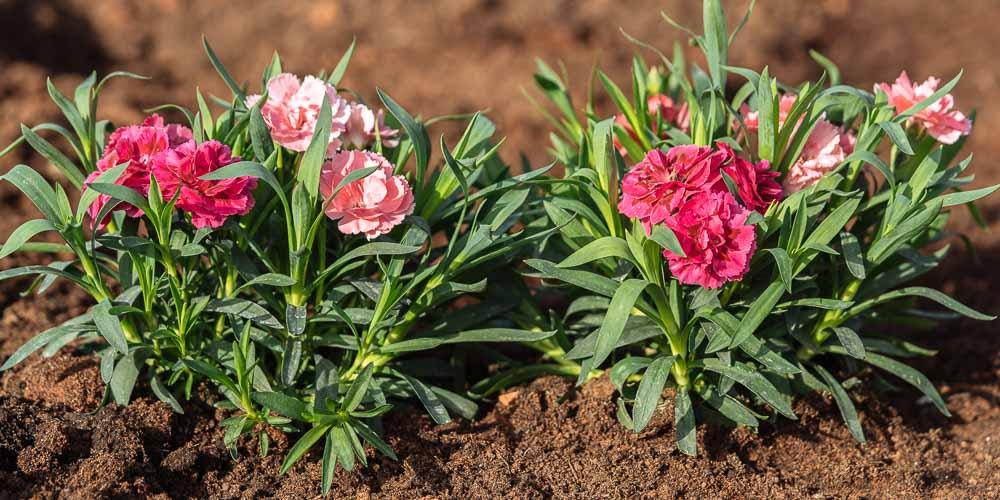 Φυτά γαριφαλιάς