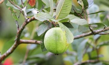 Καλλιέργεια γκουάβα